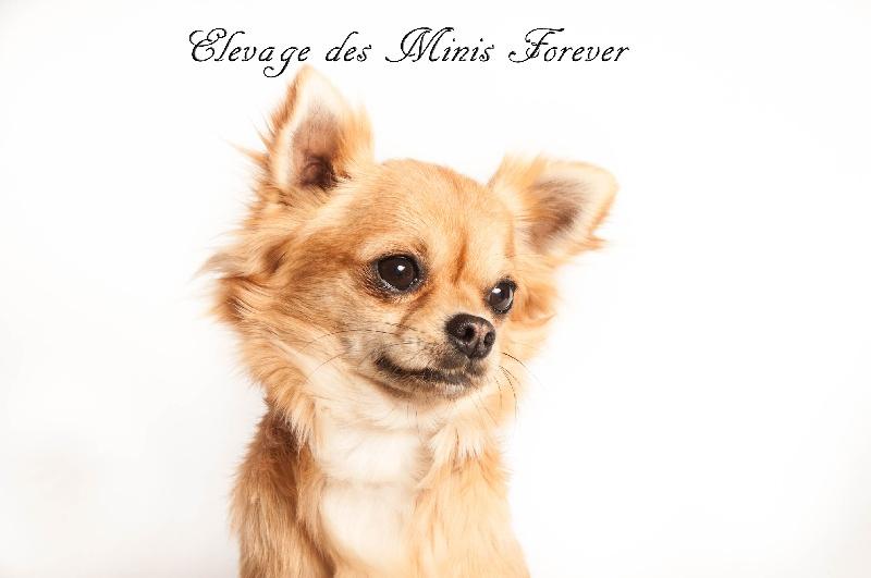 Les Chihuahua de l'affixe des Minis Forever