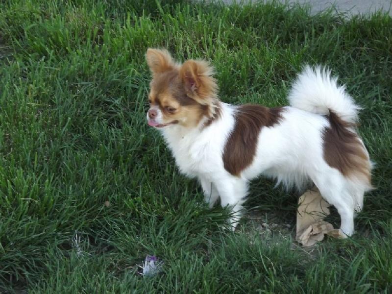 Les Chihuahua de l'affixe Des Minis Pepites