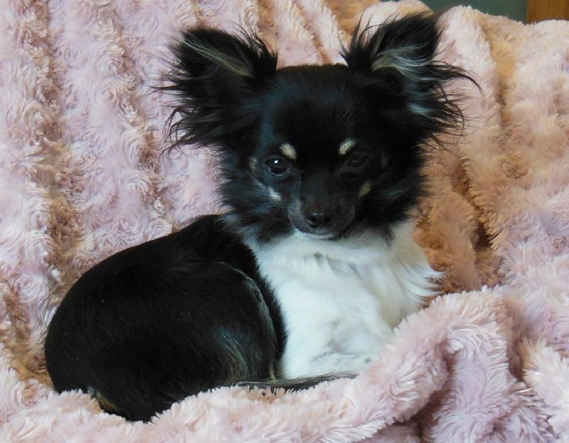 Les Chihuahua de l'affixe du domaine du Bois Colin