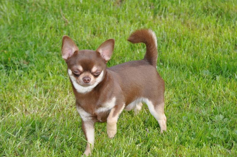 Chihuahua - Jack daniels du Royaume d'Isthar