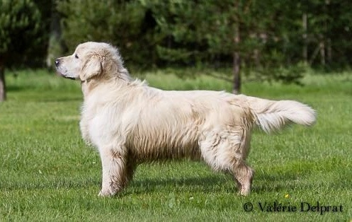 Les Golden Retriever de l'affixe Masters of Water