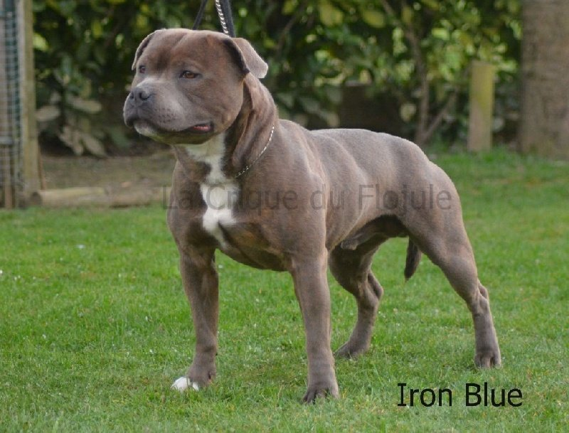 Staffordshire Bull Terrier - Iron blue