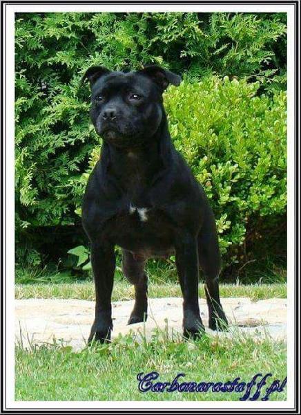 Staffordshire Bull Terrier - Cefeida feasog bhan carbonarastaff