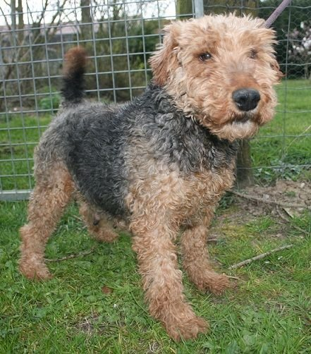 Les Welsh Terrier de l'affixe Des marais de courmont