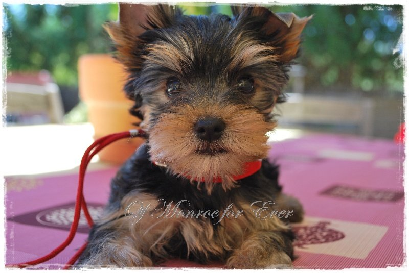 Elevage Chien Of Yorkshire De Monroe Ever Terrier Eleveur For Chiens xEBeoQrdCW