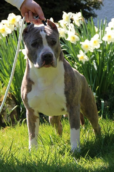 Les American Staffordshire Terrier de l'affixe Of Stafford Edition
