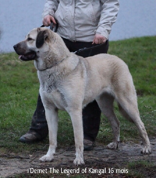 Les Berger d-Anatolie de l'affixe The Legend Of Kangal