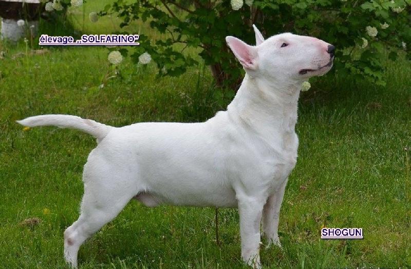 Les Bull Terrier Miniature de l'affixe Solfarino