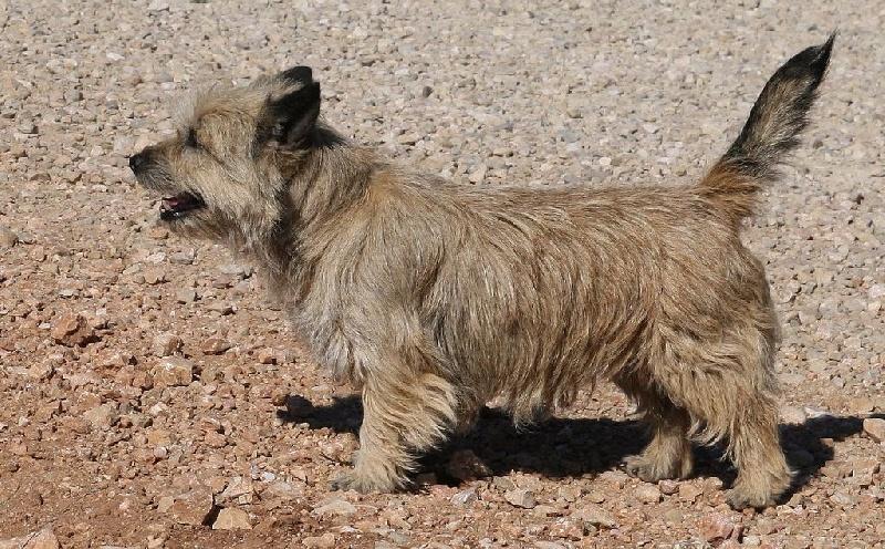 Les Cairn Terrier de l'affixe du mas du zouave