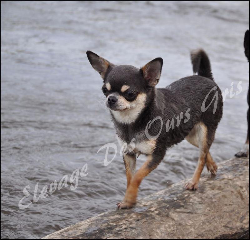 Les Chihuahua de l'affixe Des Ours Gris