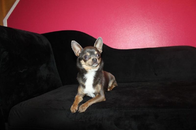 Les Chihuahua de l'affixe Gang Sing's Paradise