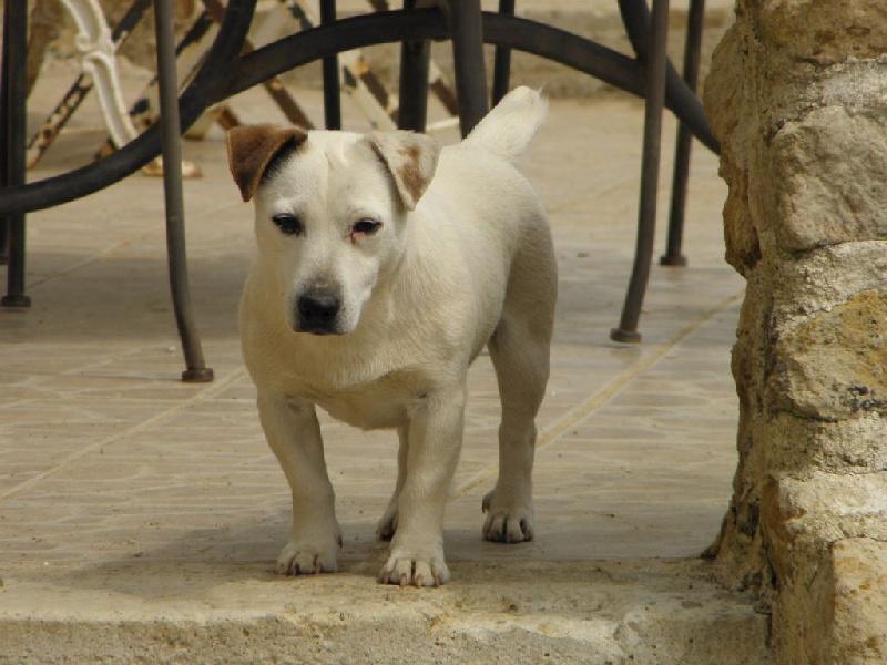 Les Jack Russell Terrier de l'affixe Du Moulin Sault
