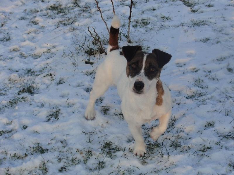 Les Jack Russell Terrier de l'affixe des champs de l'Aisne
