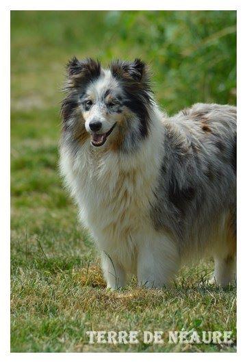 Les Shetland Sheepdog de l'affixe De La Terre De Neaure