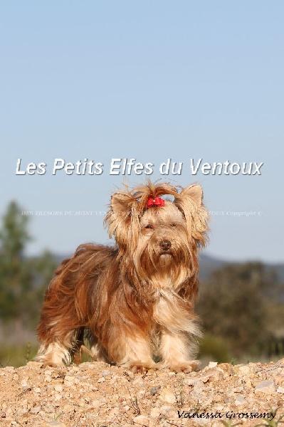 Les Yorkshire Terrier de l'affixe des Tresors du Mont Ventoux