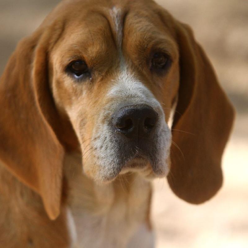 Les Beagle de l'affixe Du Repere Des Bandits