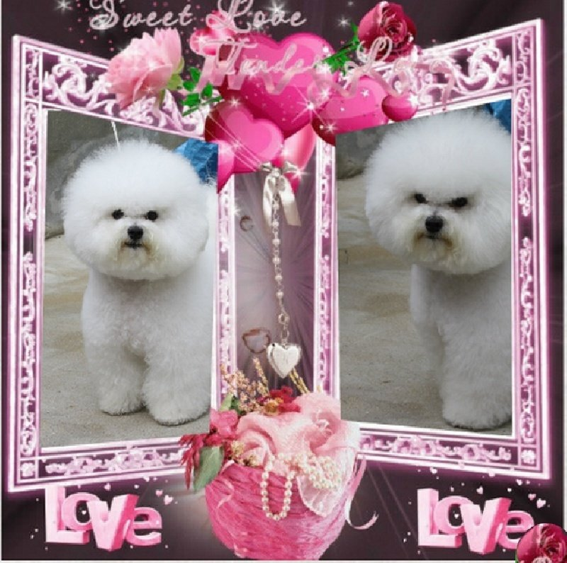 Bichon frise - CH. royal frisé Give me love gaiety romania