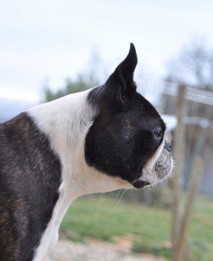 Les Boston Terrier de l'affixe les chiens de florence