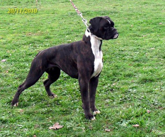 Accueil - Elevage Du Phoenix Noir - eleveur de chiens Boxer