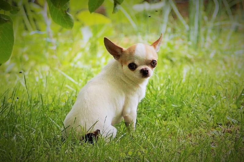 Les Chihuahua de l'affixe des Mille et une Patte