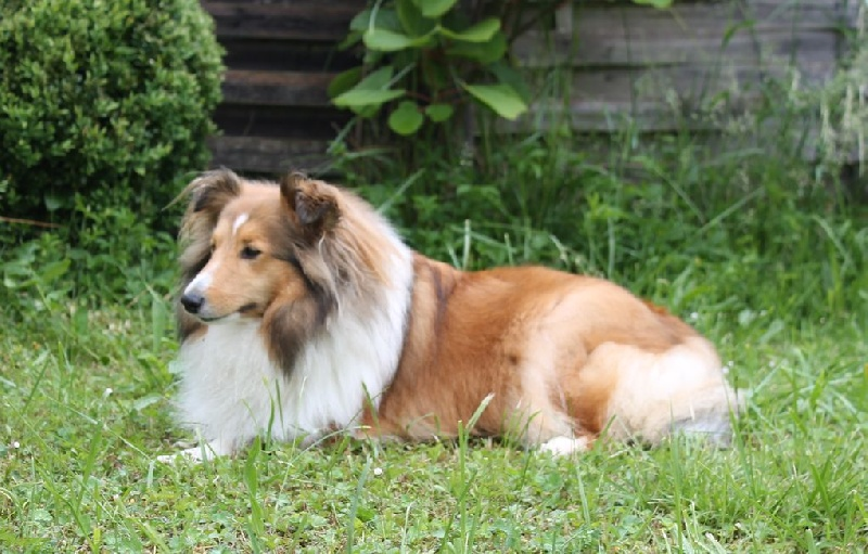 Les Shetland Sheepdog de l'affixe Mandarin Garden's