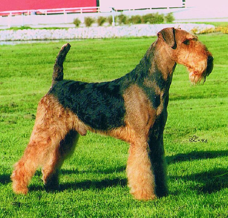 Airedale Terrier - CH. big lady's Your majesty
