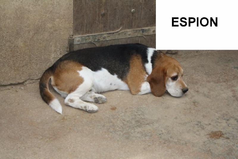 Les Beagle de l'affixe du Pilon des Aures