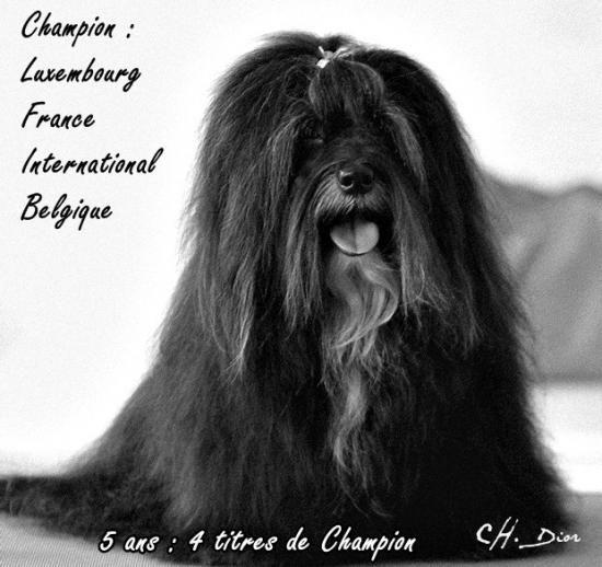 Les Bichon Havanais de l'affixe Du Royaume De Mon Prince Noir