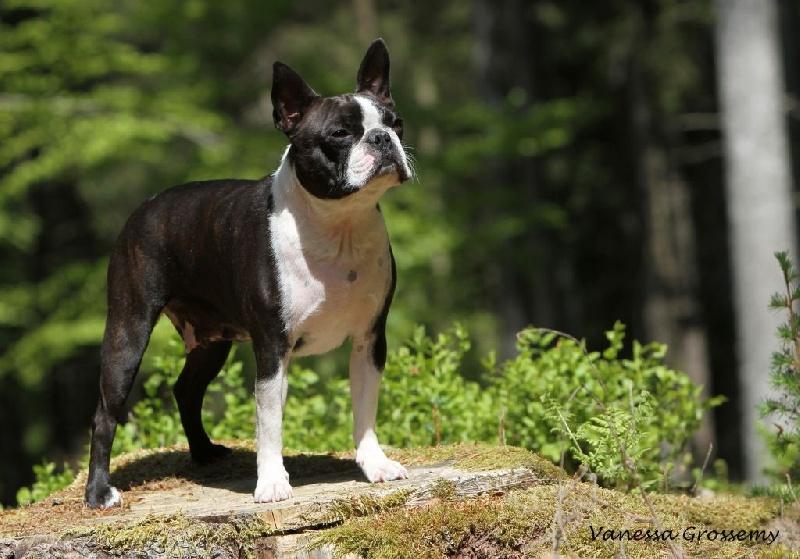 Les Boston Terrier de l'affixe du Domaine Rosaris