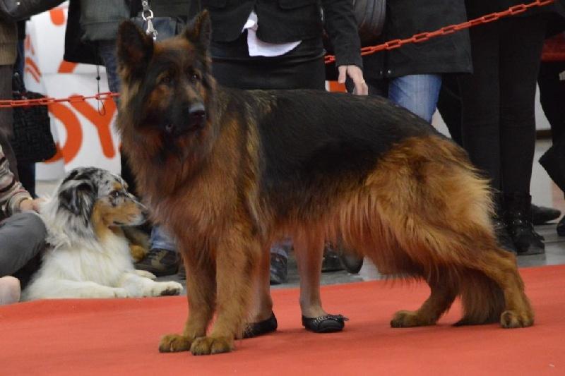 chien elevage du val des grands sacres eleveur de chiens berger allemand poil long dans l 39 aube. Black Bedroom Furniture Sets. Home Design Ideas