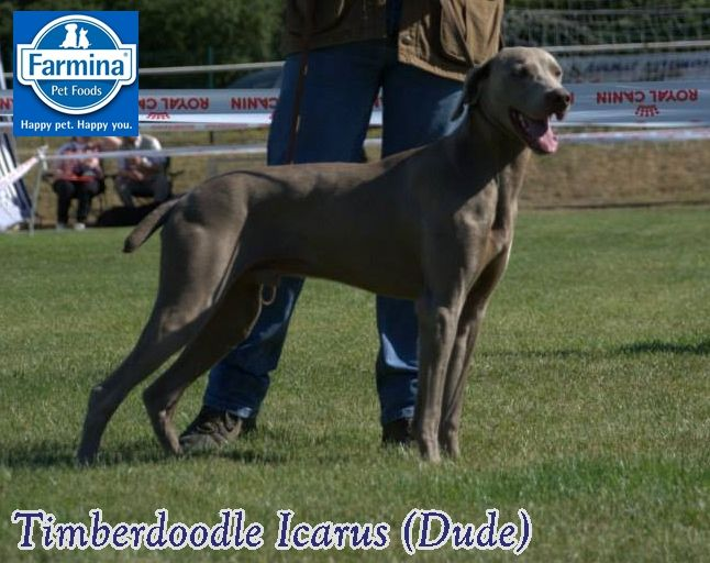 CH. TR. timberdoodle Icarus
