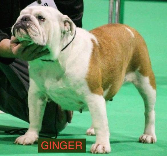 Les Bulldog Anglais de l'affixe Des Bully Du Mordor