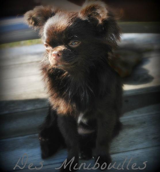 chien elevage des minibouilles eleveur de chiens chihuahua. Black Bedroom Furniture Sets. Home Design Ideas