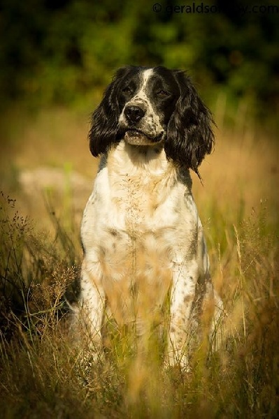 Les English Springer Spaniel de l'affixe Masters of Water