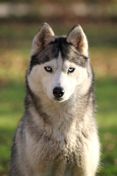 Les Siberian Husky de l'affixe d'Isarudy