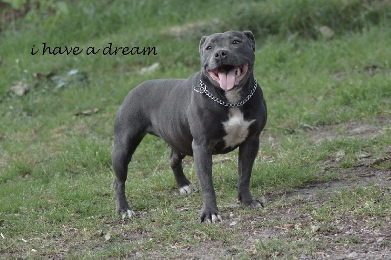 Les Staffordshire Bull Terrier de l'affixe I have a dream