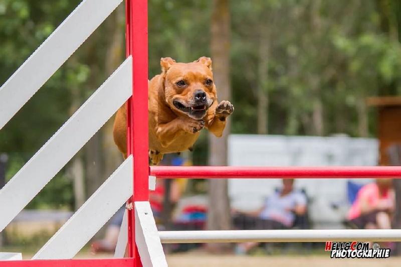 Les Staffordshire Bull Terrier de l'affixe Izarra Xakur