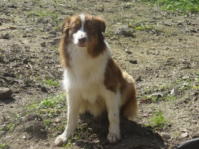Les Berger Australien de l'affixe Aurely's Dogs