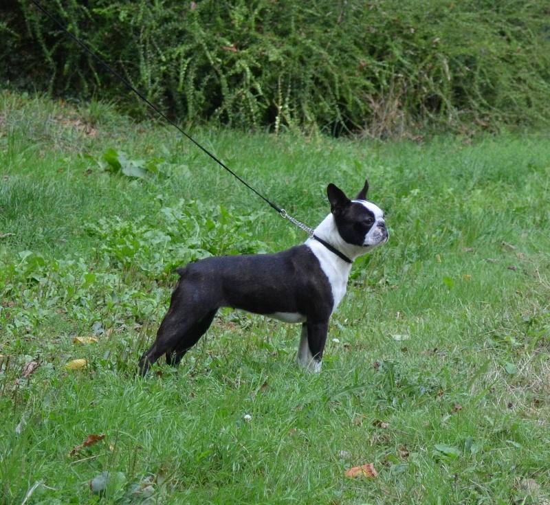 AKC Boston Terriers by Bossy Bostons
