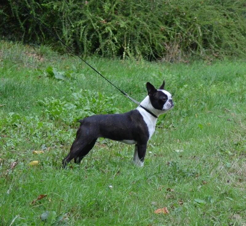 Boston Terrier Dog Breed