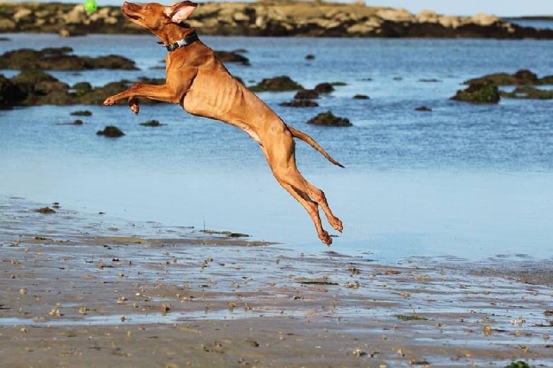 Josh randall du fond de chouck chien de race toutes races en tous departements france inscrit - Braque hongrois a poil court ...