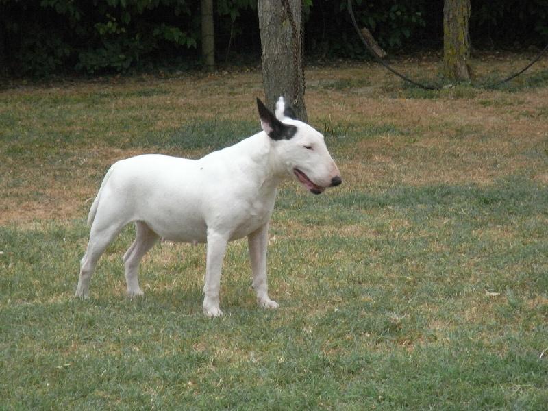Les Bull Terrier de l'affixe des Guerriers Occitans