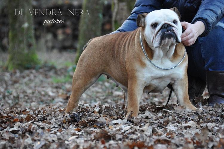 Les Bulldog Anglais de l'affixe Di Vendra Nera
