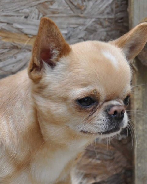 Les Chihuahua de l'affixe Leedyl