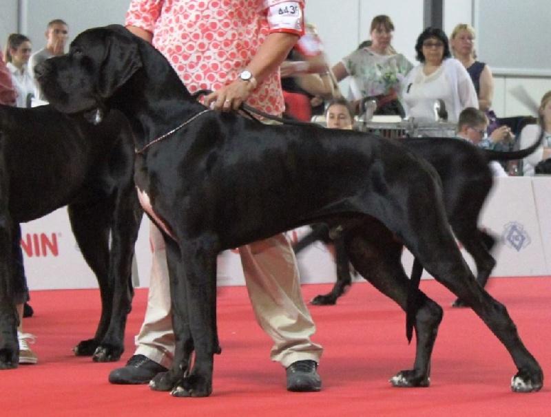 Dogue allemand - CH. J ch jaaphar de L'Harnois Blanc