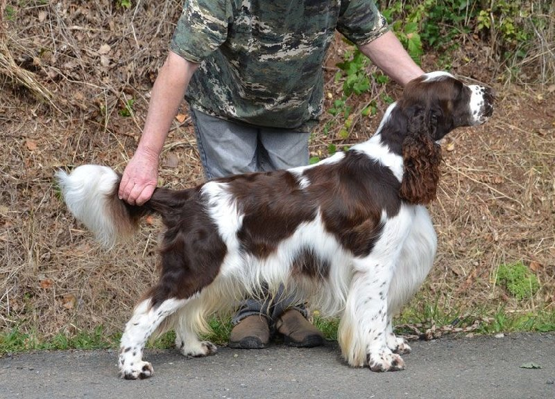 Les English Springer Spaniel de l'affixe du Rieu-Grand