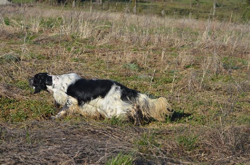Chien - Elevage de Neyanc - eleveur de chiens Setter