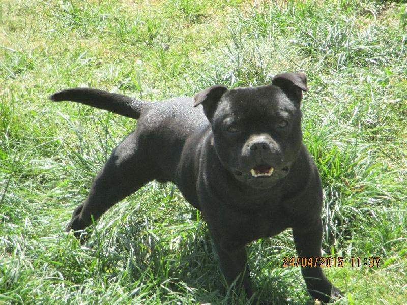 Les Staffordshire Bull Terrier de l'affixe Du temple du kraken