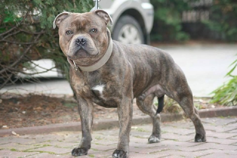 Staffordshire Bull Terrier - CH. Albion blue king of avalon
