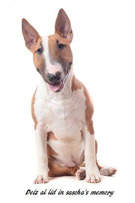 Les Bull Terrier de l'affixe du Royal Belvédère